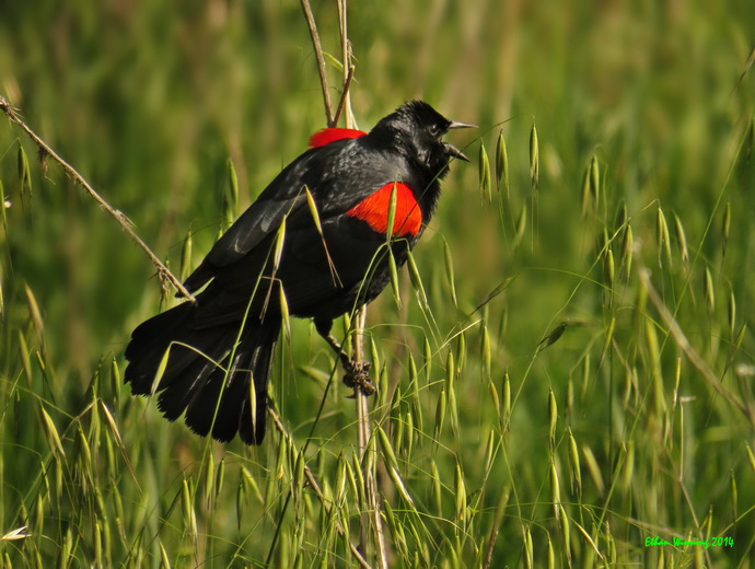 Red-winged Blackbird by Ethan Winning