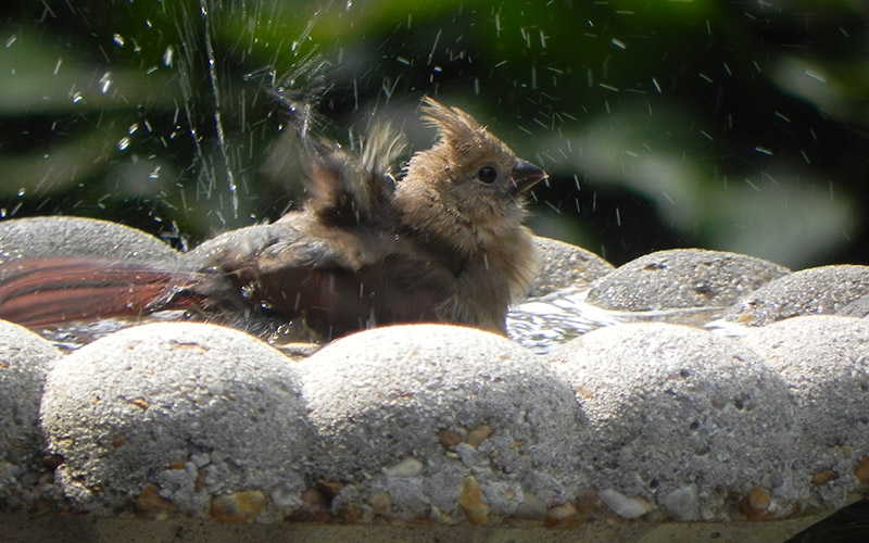 A female northern cardinal takes a refreshing bath. Photo by Paul Gamrat.