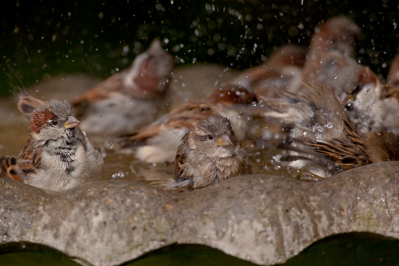 Birds enjoying a bath! Photo by Bret Goddard.