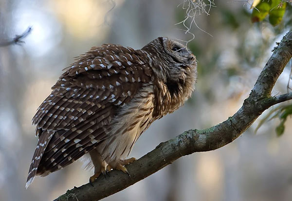Barred owl by Robert Strickland.