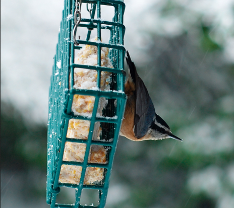 Red-Breasted Nuthatch on Suet