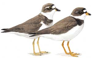 Semipalmated Plovers (Illustration by Julie Zickefoose)