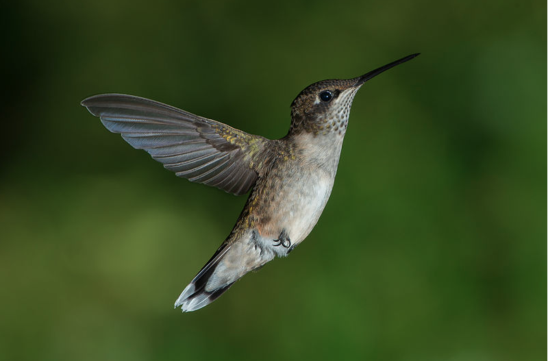 Juvenile Male Ruby-throated Hummingbird
