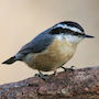 Bird Identification Guide: Nuthatches & Creepers