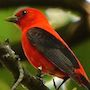 Bird Identification Guide: Tanagers
